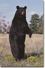 black bear from http://www.theredneckhunter.com/id31.html